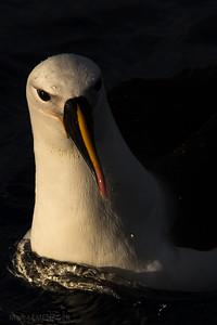 Albatros ruisselant